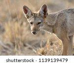 golden jackal  canis aureus | Shutterstock . vector #1139139479