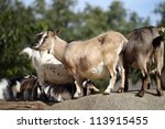Details Of Domestic Pygmy Goat...