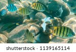 small fish hides in the shell...   Shutterstock . vector #1139165114