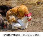 image of an animal rooster... | Shutterstock . vector #1139170151