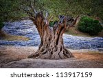 Old Olive Tree Trunk  Roots An...