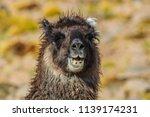 llama in bolivia | Shutterstock . vector #1139174231
