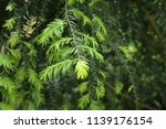 cephalotaxus wilsoniana plant   Shutterstock . vector #1139176154
