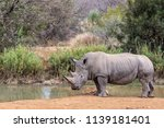 rhinos are endangered due to... | Shutterstock . vector #1139181401
