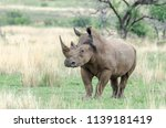 rhinos are endangered due to... | Shutterstock . vector #1139181419