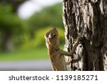 a wild lizard starring on its... | Shutterstock . vector #1139185271