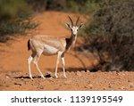 female arabian sand gazelle ... | Shutterstock . vector #1139195549