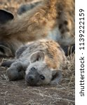 spotted hyena lying down  | Shutterstock . vector #1139222159