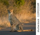 sitting cheetah in the road | Shutterstock . vector #1139222189