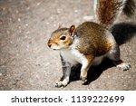 wild park squirrel  | Shutterstock . vector #1139222699