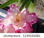 pink blooming gladiolus  | Shutterstock . vector #1139234381