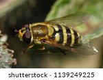 hoverfly sitting on a plant in... | Shutterstock . vector #1139249225