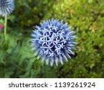 Blue Southern Globe Thistle...