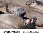 elephant seals on the shore in... | Shutterstock . vector #1139267861