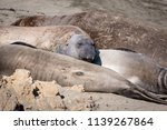 elephant seals on the shore in... | Shutterstock . vector #1139267864