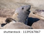 close up of elephant seal on... | Shutterstock . vector #1139267867