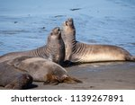 elephant seals sparring on the... | Shutterstock . vector #1139267891