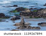 elephant seals sparring on the... | Shutterstock . vector #1139267894