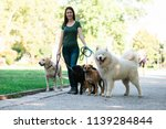Stock photo dog walker with dogs enjoying in park 1139284844