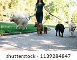 Stock photo dog walker with dogs enjoying in park 1139284847