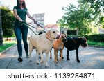 Stock photo dog walker enjoying with dogs while walking outdoors 1139284871