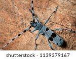 colorful alpine longhorn beetle ... | Shutterstock . vector #1139379167