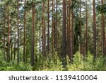 forest with pine trees   Shutterstock . vector #1139410004