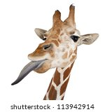 Somali Giraffe  Commonly Known...