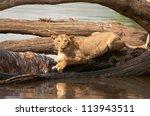 Постер, плакат: Lioness keeps her eye