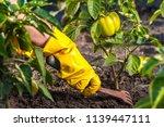weeding green pepper on the... | Shutterstock . vector #1139447111