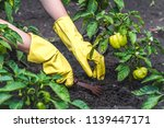 weeding green pepper on the... | Shutterstock . vector #1139447171
