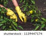 weeding green pepper on the... | Shutterstock . vector #1139447174