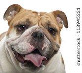 English Bulldog  2 Years Old ...