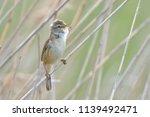 eurasian reed warbler ...   Shutterstock . vector #1139492471