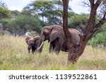 an elephant herd grazing in... | Shutterstock . vector #1139522861