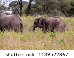 an elephant herd grazing in... | Shutterstock . vector #1139522867