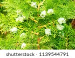 Cypress branches with fruits close-up - stock photo