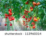 Farm Of Tasty Red Tomatoes On...
