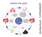 ascaris life cycle.  the arrows ... | Shutterstock .eps vector #1139660639