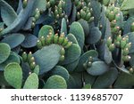 Opuntia Ficus Indica Is Also...