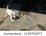 little jack russel to play in... | Shutterstock . vector #1139703977