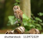 Portrait Of A Tawny Owl In...