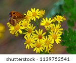 gatekeeper butterfly on  common ... | Shutterstock . vector #1139752541
