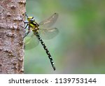 common hawker dragonfly on... | Shutterstock . vector #1139753144