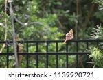 fluffy female northern cardinal ... | Shutterstock . vector #1139920721