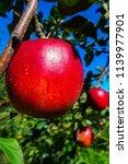 bright red  delicious  juicy... | Shutterstock . vector #1139977901