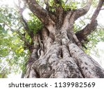 bodhi tree with large trunk | Shutterstock . vector #1139982569
