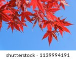 red maple leaves in autumn the... | Shutterstock . vector #1139994191