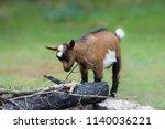 a free range baby goat  brown... | Shutterstock . vector #1140036221