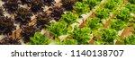 Fresh Lettuce Leaves  Close Up...